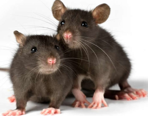 Ghana: Ghana Issues Lassa Fever Alert
