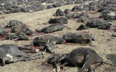 Nigeria: Abuja Bound Train Crushes 52 Cows in Kaduna