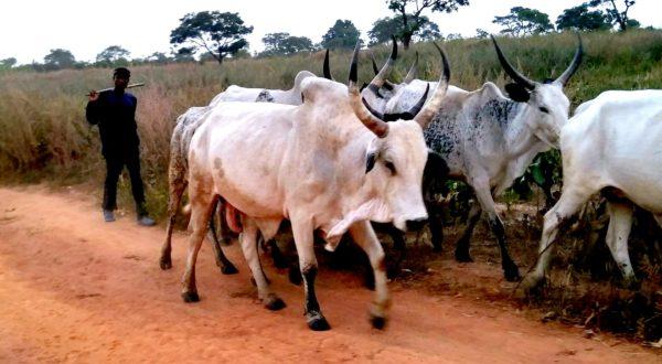 30 Herdsmen, 322 Cows Missing in Anambra, Miyetti Allah Tells Police